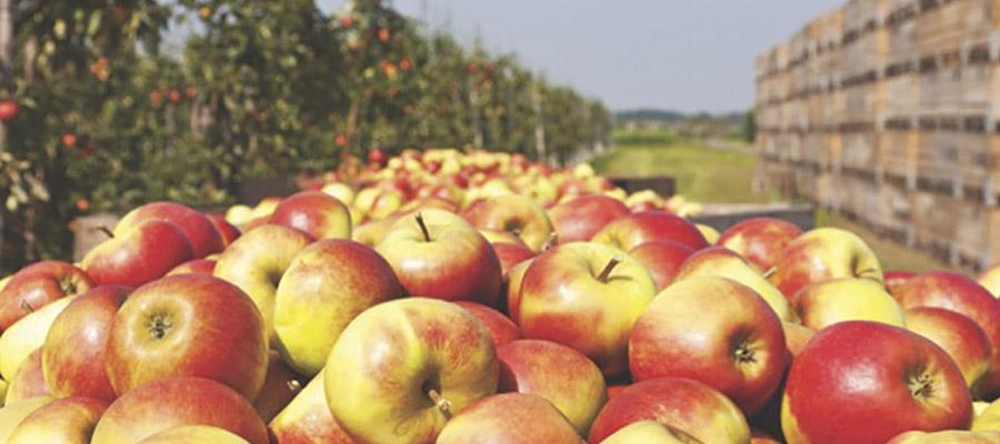 pommes dans un verger