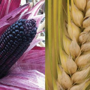 Le maïs pourpre, vous connaissez ?